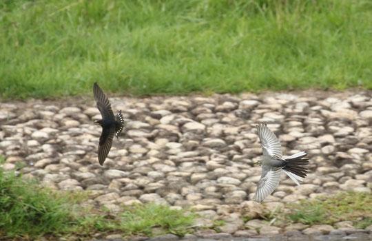 ●ツバメを追うハクセキレイの若鳥:武蔵野の森公園にて(以下同)