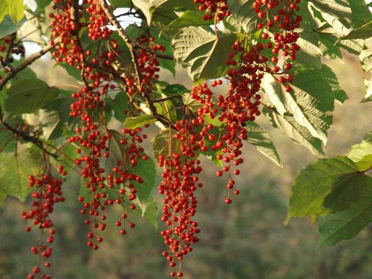 10月28日(2018)イイギリ(飯桐):野川公園のみずき橋の近くにて。葡萄の房のような形をした真っ赤な実が沢山ぶら下がっていました。