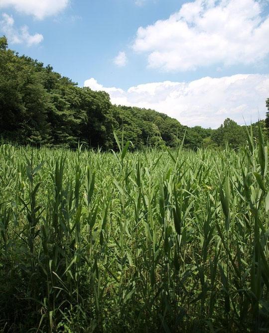 6月15日(2014) 梅雨晴れの葦(ヨシ)原:神代植物公園・水生植物園にて