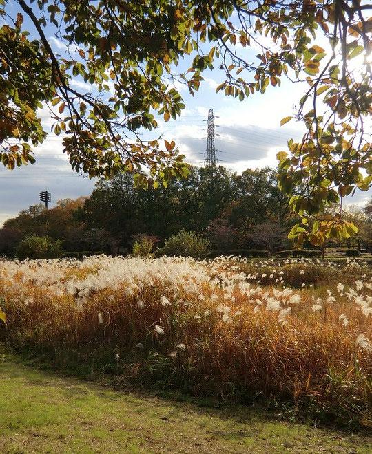 11月12日(2013) すすきと鉄塔(野川遊歩道:武蔵野公園のあたり)