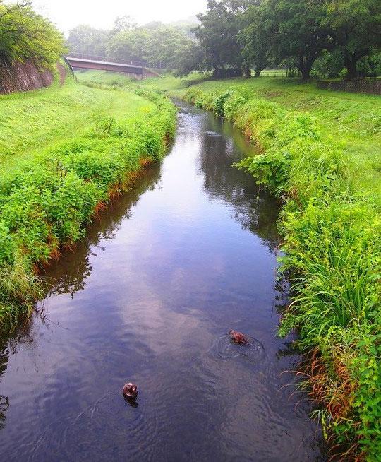 7月6日(2014) 梅雨の晴れ間:野川・かしのき(樫)橋から