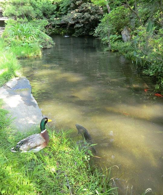 5月25日(2014) マガモと池のコイ(深大寺境内の池で)
