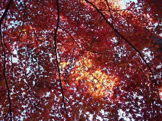 12月27日(2015) 紅葉の輝き:暖冬のためか公園の片隅で美しい紅葉がまだ見られました(12月26日、野川公園で)