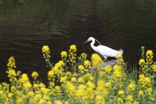 ●菜の花とコサギ:野川にたたずむコサギ。川辺には日本の春の風物詩と言える菜の花が咲いています