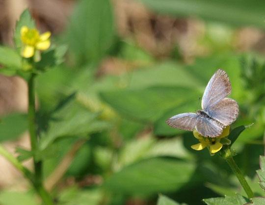 8月3日(2015)ちいさな花にちいさな蝶:8月2日、野川公園・自然観察園にて。ちいさな花はヤブヘビイチゴ、ちいさな蝶はヤマトシジミと思われます