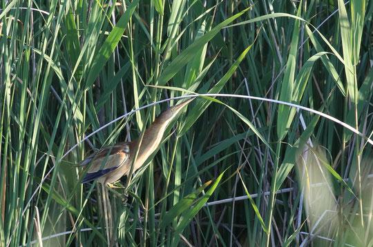 6月25日(2017) 首をのばすヨシゴイ:ヨシ原にすむ小さなサギ、ヨシゴイ。首を上にのばすとヨシの草と見分けづらくなる擬態をする鳥。水辺のミョウガの異名もあります。三鷹市の武田さんのご投稿写真、くわしくは、ご投稿の頁をご覧ください