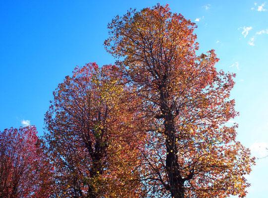 12月15日(2020)モミジバフウの紅葉:多磨霊園の東八道路沿いにモミジバフウの並木があり、綺麗に紅葉していました。葉っぱがモミジににていますが、マンサク科フウ属の落葉高木です