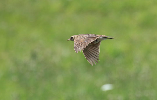 ●ヒバリ(スズメ目、ヒバリ科。全長17㎝。飛び立つときにビルッと鳴く。 さえずり:上空でピーチュルピーチュルなどと長く複雑に続ける。)