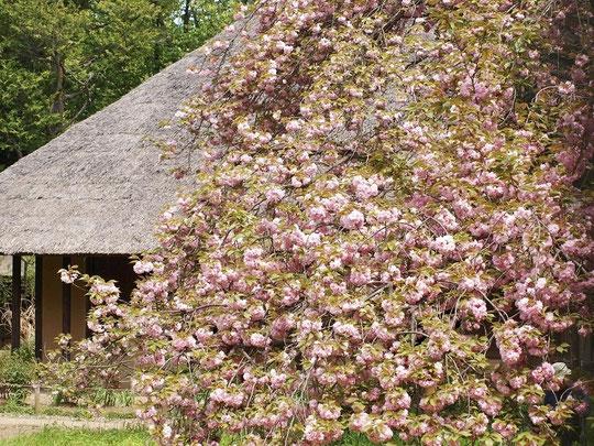 4月20日(2016) 桜(関山)と茅葺農家:小金井公園の桜の園から江戸東京たてもの園(農家・綱島家)を見たものです