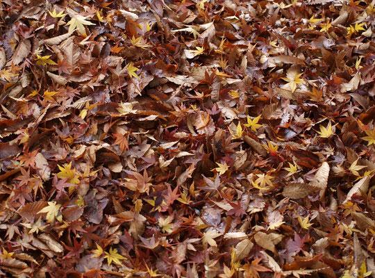 12月10日(2019)落葉:ケヤキの落葉の上にイロハモミジの葉っぱがかさなり、雨に濡れて輝いていました。三鷹市の大沢八幡神社にて