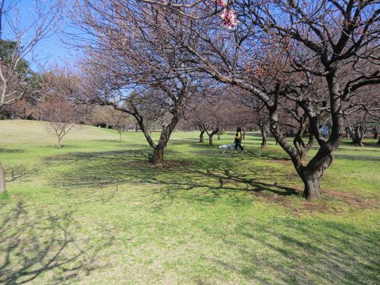 梅の木の下を犬と散歩する人