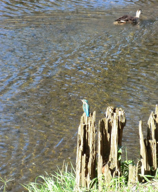 10月15日(2013) 泳ぎ去るカモ、佇むカワセミ(野川)