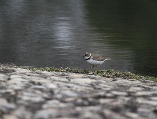 ●コチドリ(小千鳥):チドリ目チドリ科の夏鳥。武蔵野の森公園で4月1日に撮影