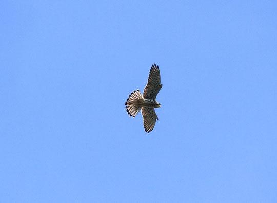 9月25日(2014)調布飛行場の上空を飛翔するチョウゲンボウ(ハヤブサ科):三鷹市在住の武田さんが9月23日に撮影(ご投稿の頁にも掲載)