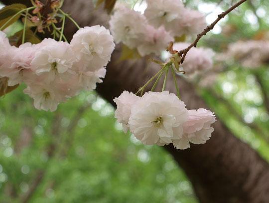 ●フゲンゾウ(普賢象):八重。八重桜の中でも古くから知られている名花。
