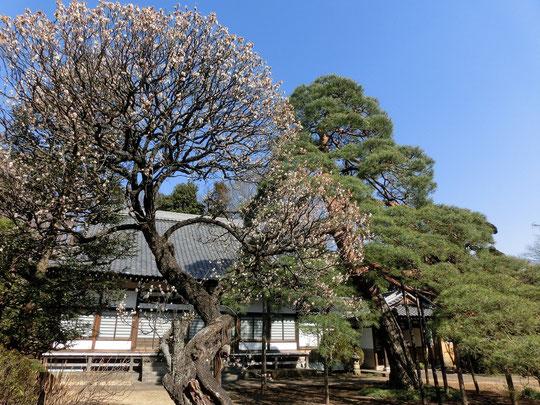 2月19日(2016) 海岸寺の梅と松:小平市の玉川上水沿いにある瑞雲山海岸寺(臨済宗妙心寺派)。アカマツは樹齢200年以上と推定され、「こだいら名木百選」のひとつ