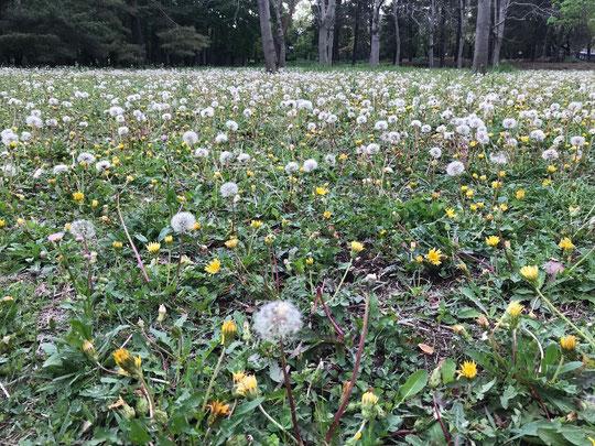 4月28日(2019) タンポポ(蒲公英):綿毛になったタンポポが群生していました。タネがパラシュートのように風にのって飛んでいきます。都立野川公園にて
