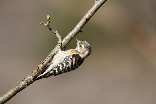 ●木をつついているコゲラ。虫を探しているのでしょうか。