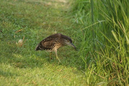 ●ホシゴイと呼ばれるゴイサギの若鳥。何か獲物をねらっているのでしょうか・・・。鋭い眼差しです。