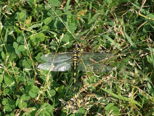 6月17日(2015)オニヤンマの着陸:調布飛行場のとなりにある武蔵野の森公園にて