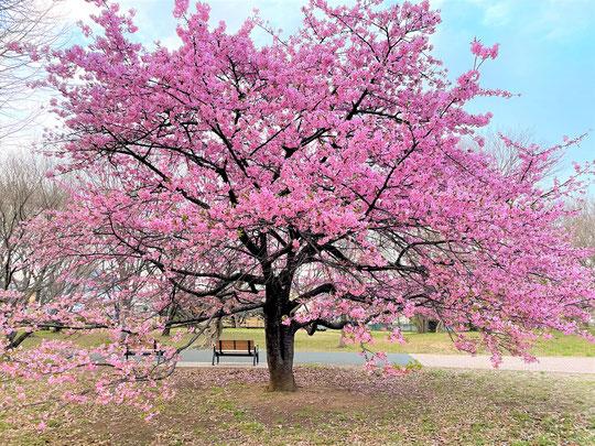 3月20日(2016) お彼岸に咲く寒緋桜(カンヒザクラ):調布市野草園にて