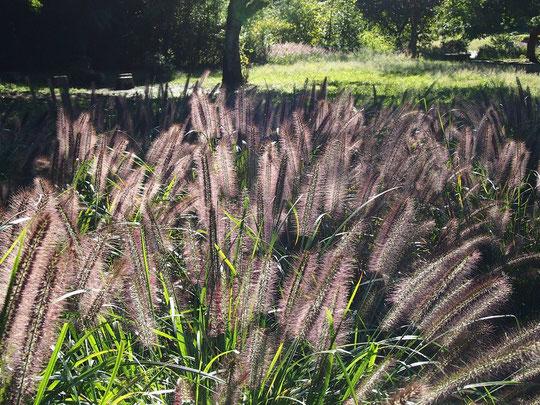 10月14日(2014) チカラシバの群生:野川公園の湧水広場の近くで今年もチカラシバが群生していました。チカラシバ:イネの仲間。道芝(みちしば)ともいう。道ばたや草地に生え、秋にブラシのような花穂をつける