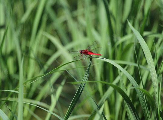 7月9日(2014) 稲にとまる赤いトンボ(ショウジョウトンボ):武田さんのご投稿写真(三鷹市の大沢田んぼにて)