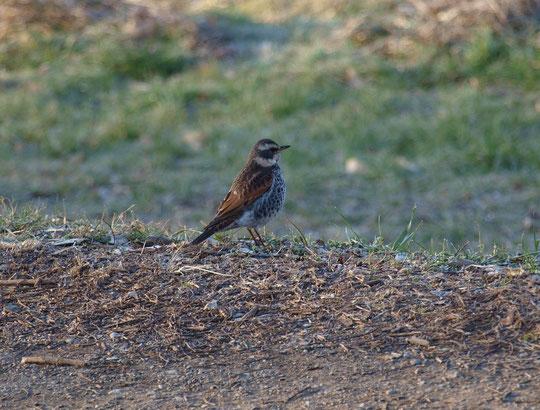 2月18日(2015) 春を待つツグミ:2月6日、野川遊歩道にて。冬鳥のツグミは、春になると北国に帰って行きます(旅立って行きます)。北の方角を見つめていました