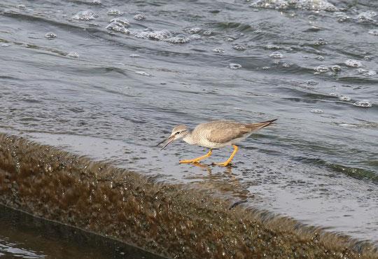 ●こちらがキアシシギ。何か小魚でも探しているのでしょう。