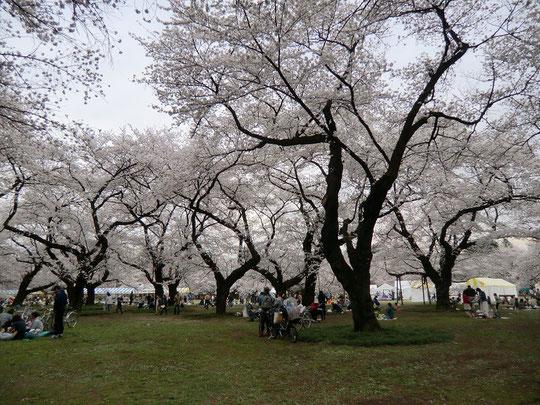 ●園内にはお花見をする人もいっぱい。4月4日(金)~6日(日)に小金井桜まつりが開催される予定で、会場の設営が行われていました