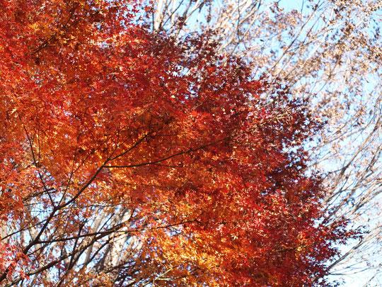 11月29日(2016) 紅葉の雑木林:葉が落ちた木々を背景に、午後の陽を浴びたモミジが燃えるように輝いていました。府中の森公園にて。