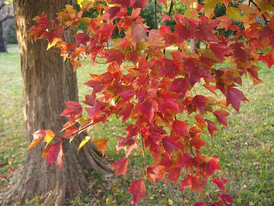 11月13日(2016) トウカエデの紅葉:都立武蔵野公園の苗圃(びょうほ)にて。苗圃とは、公園や街路に樹木を提供する目的で苗木を育てている場所。トウカエデの赤とイチョウの黄がきれいでしたが、色づきはこれからが本番です。