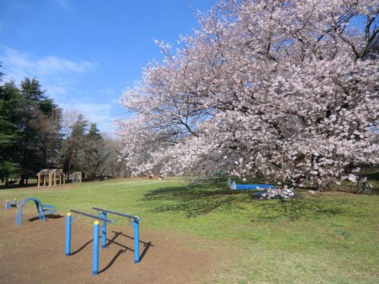 アスレチック広場の桜。早朝からお花見のシートが敷かれている
