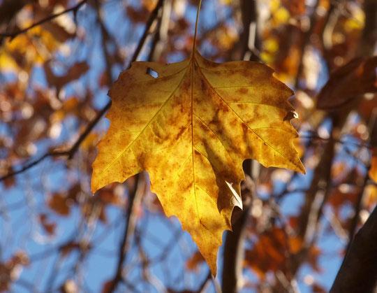 12月3日(2017) 冬のはじまり:今にも落葉しそうなモミジバスズカケノキの葉が1枚、枝にぶらさがっていました。都立野川公園にて