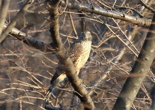 1月5日(2016) 三鷹で撮影された「鷹」:三鷹市在住の武田さんのご投稿写真です。詳しくは、ご投稿の頁をご覧ください