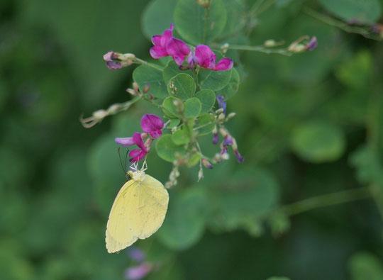 9月15日(2020)花と蝶:ハギの蜜を吸うキタキチョウ。花は無心にして蝶を招き 蝶は無心にして花を訪ねる(良寛詩集)