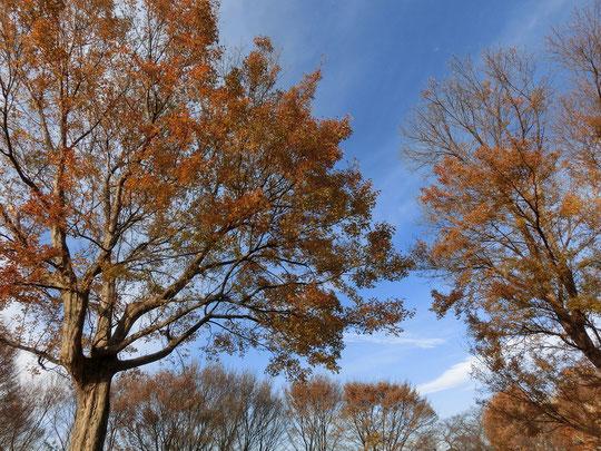 12月20日(2018)年の暮れとなり落葉樹の葉っぱがあらかた地に帰るなか、トウカエデの葉がきれいに紅葉していました。トウカエデの葉は先のほうが3つに分かれていて、形が可愛いです。武蔵野の森公園にて。