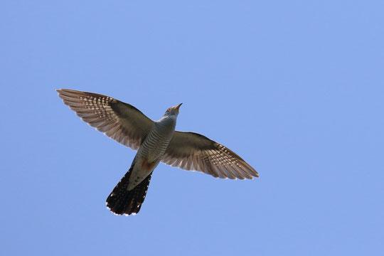 ●カッコウが飛び立った姿。5月20日撮影