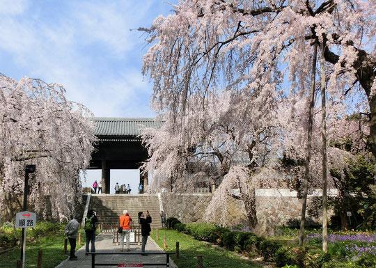 3月27日(2018) 東郷寺の枝垂れ桜:府中市の多磨霊園駅(京王線)近くにある東郷寺のシダレザクラが満開でした。東郷寺の山門は、黒澤明監督の映画、羅生門のモデルになったとも言われています。