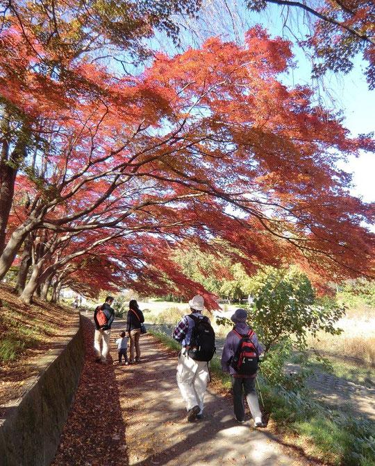 11月23日(2013) 紅葉の散歩みち:野川遊歩道(武蔵野公園付近)