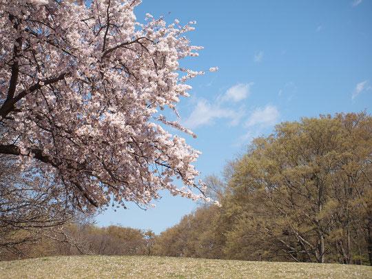 4月2日(2019) 早春の空+サクラに若葉:早春の清々しい空気の中、花が咲き、雑木林の若葉が育ってきました。佳い季節の到来です。都立野川公園にて