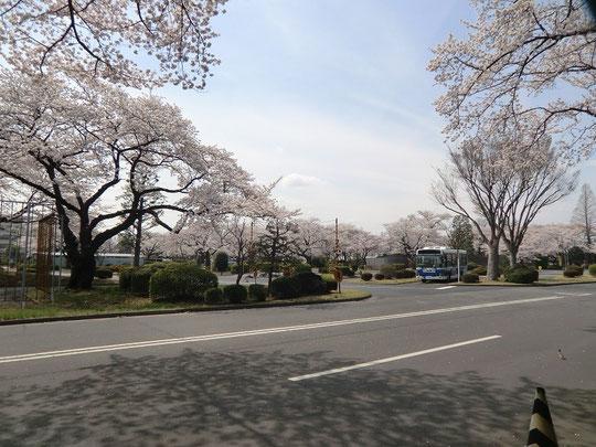 ●武蔵野公園のお隣、府中自動車試験場の桜も満開。武蔵野公園からものぞけます