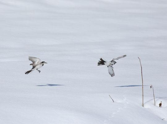 ●雪原に舞うハクセキレイ