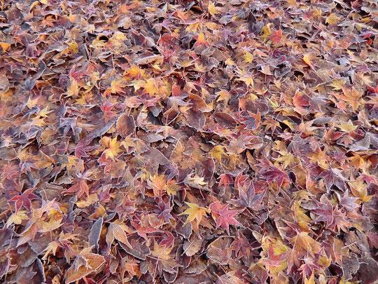 12月25日(2013) 落ち葉のコンチェルト:神代植物公園・自由広場