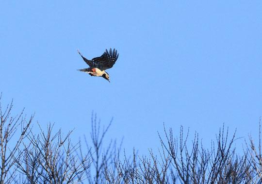 ●アカゲラの飛翔を別角度から。飛んでいる姿は珍しいですね。