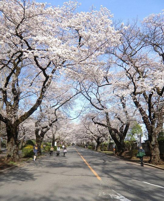 4月1日(2014) 桜並木:国際基督教大学(桜が咲く時期に見学ができます)