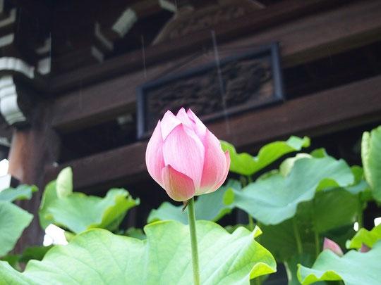 7月4日(2015) 蓮(ハス)の花が一輪:府中市の永福寺の鐘楼の前にて
