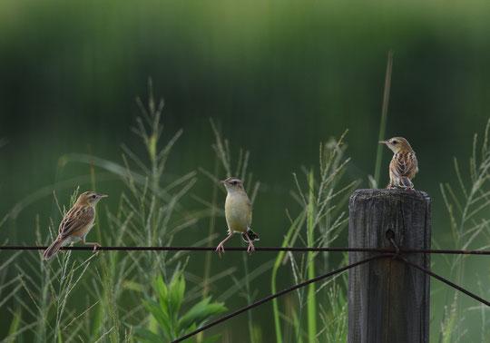 ●セッカが3羽