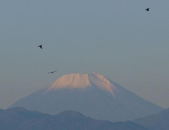 10月28日(2014) 初雪の富士と鳥の影:国立天文台近くの国分寺崖線の上から