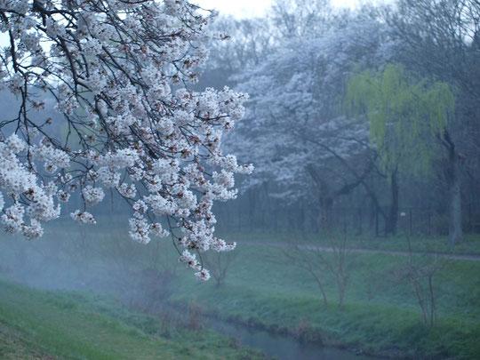 ●野川の朝霧とサクラ。3月28日の早朝、野川遊歩道のやなぎ橋の近くにて。